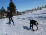 Skijöring - psí spřežení na běžkách