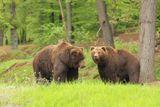 osetrovatelem medvedu