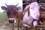 kravy ovce vysocina