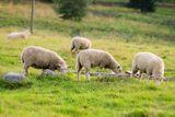 ovce na vysocine