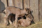 hlidani koz a ovci