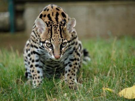 Komentovaná prohlídka kočkovitých šelem