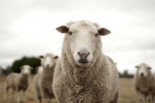 Pasáčkem ovcí a koz