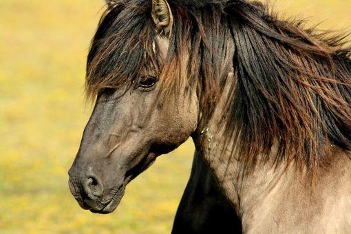 Honákem koní
